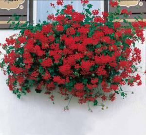 geranium_lierre_rouge_r00010335081_0